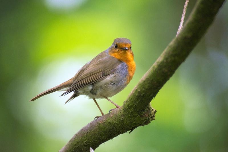 Agar Menjadi Burung Kepodang Gacor Yuk Simak Tips Perawatannya Di Sini